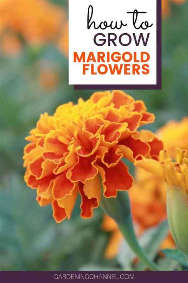 marigolds with text overlay how to grow marigold flowers