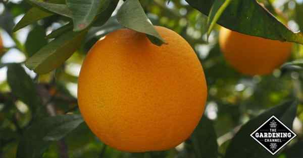 growing orange trees