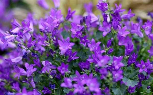 purple lobelia flowers