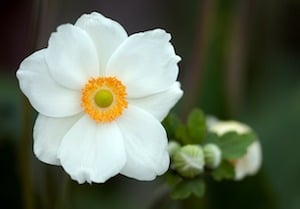 plants for rocky soil anenome