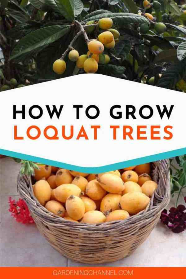 loquat tree and fruits with text overlay how to grow loquat trees
