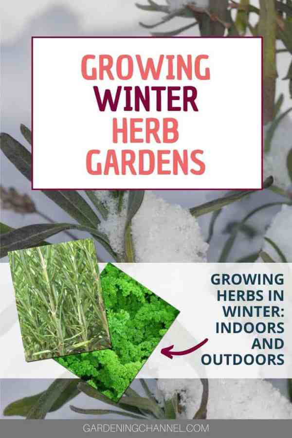 snow lavender rosemary parsley with text overlay growing winter herb gardens growing herbs in winter indoors and outdoors