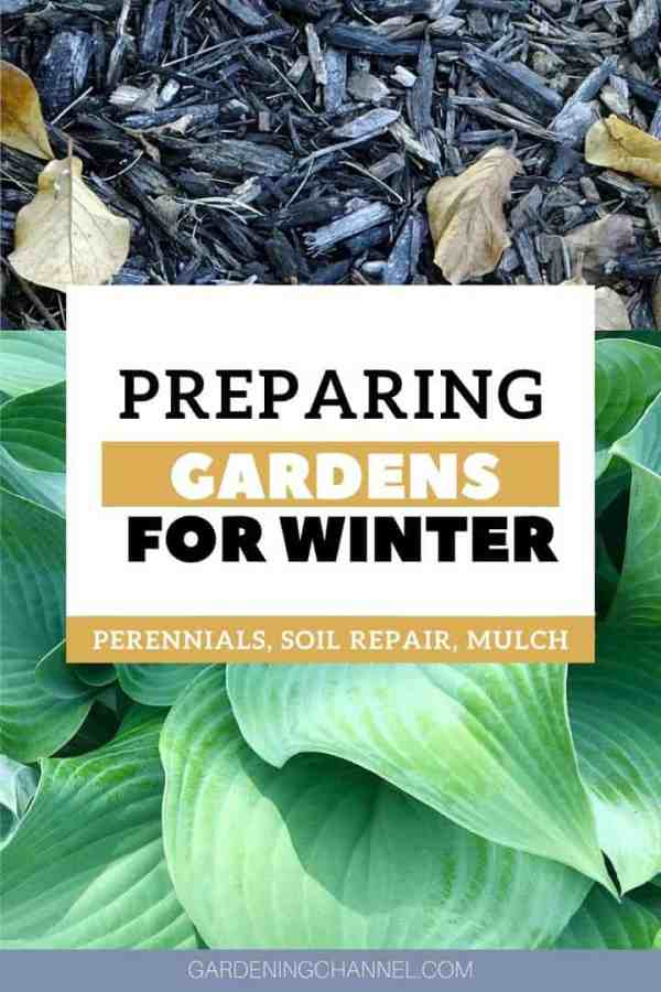 mulch hosta perennial with text overlay preparing gardens for winter perennials soil repair mulch