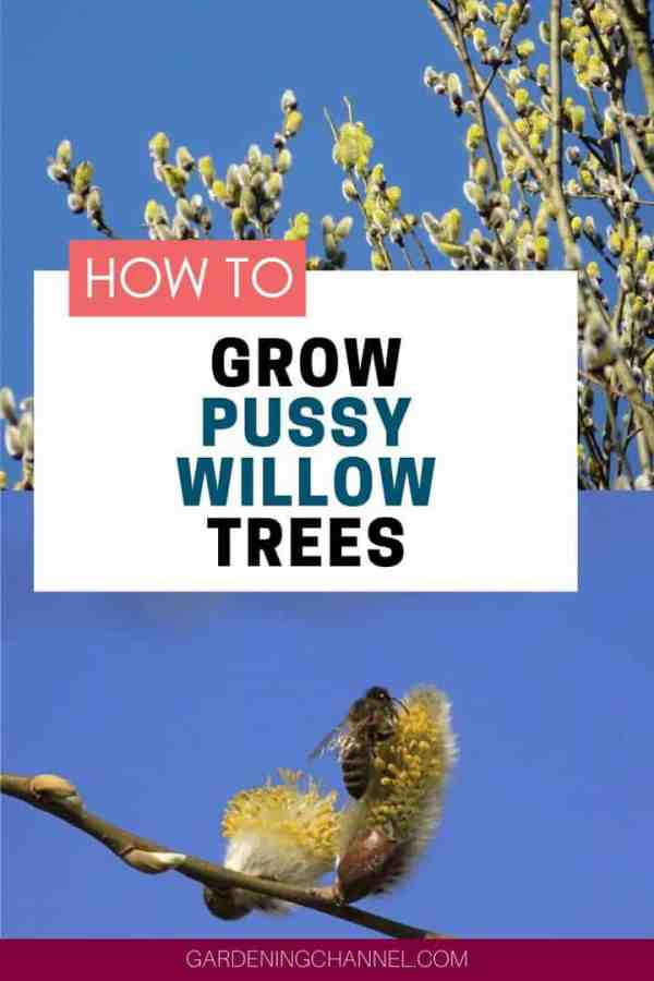 pussy willow and bee on catkin with text overlay how to grow pussy willow trees