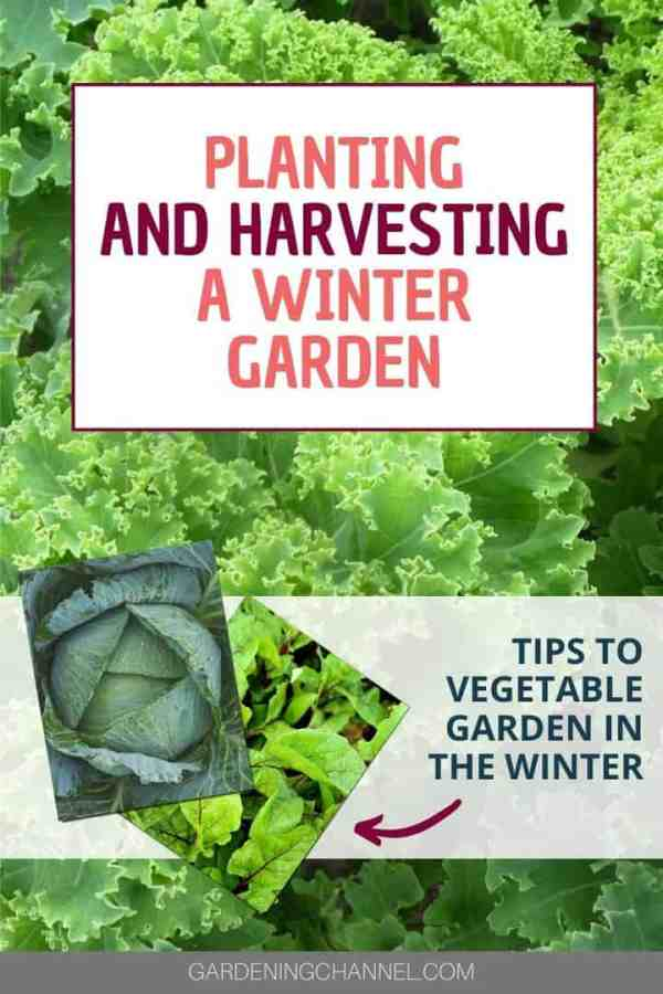 kale cabbage beets with text overlay planting and harvesting a winter garden tips to vegetable garden in the winter