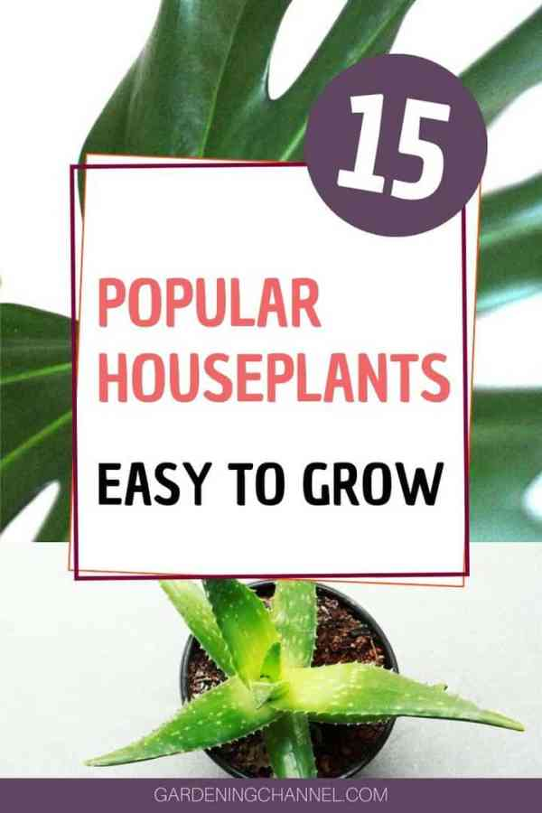 philodendron aloe with text overlay fifteen popular houseplants easy to grow
