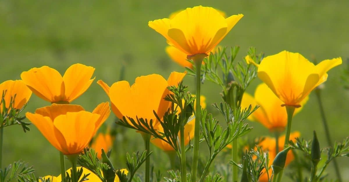growing california poppies