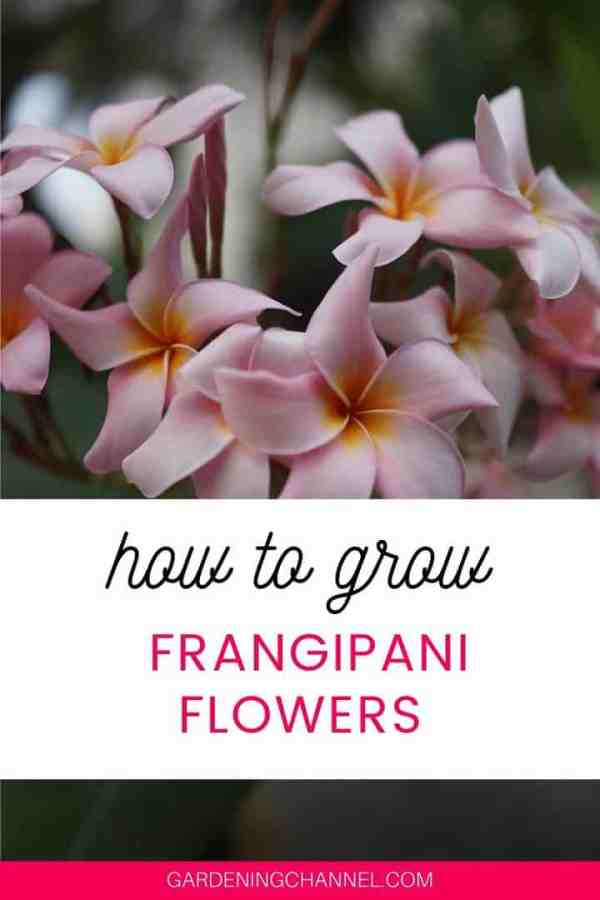 pink plumeria with text overlay how to grow frangipani flowers