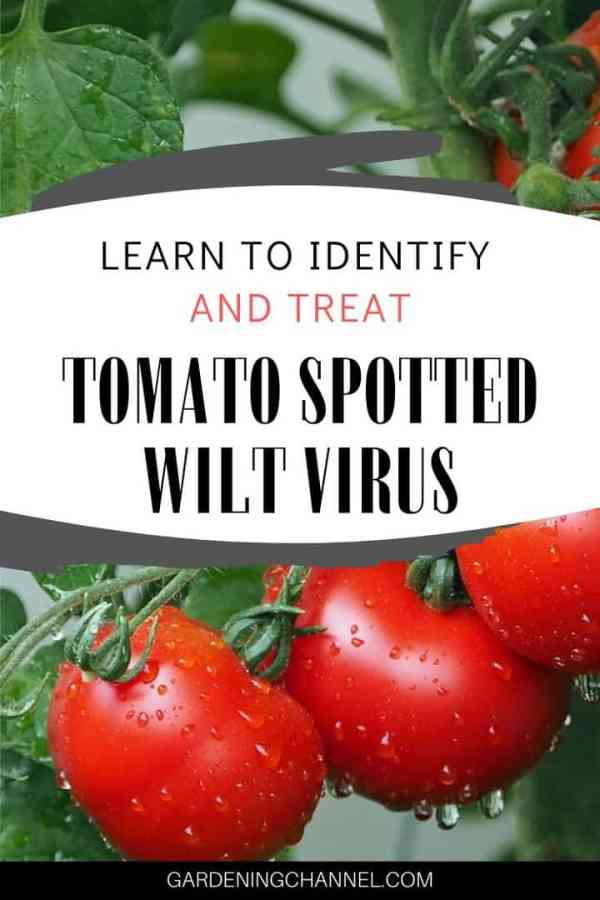 tomato plant with text overlay learn to identify and teat tomato spotted wilt virus