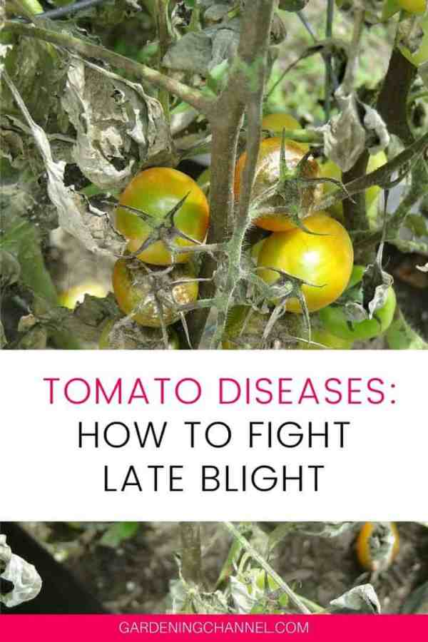 tomato late blight with text overlay tomato diseases how to fight late blight