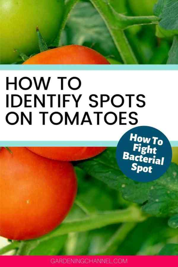 tomato plant with spots on leaves with text overlay how to identify spots on tomatoes how to fight bacterial spot