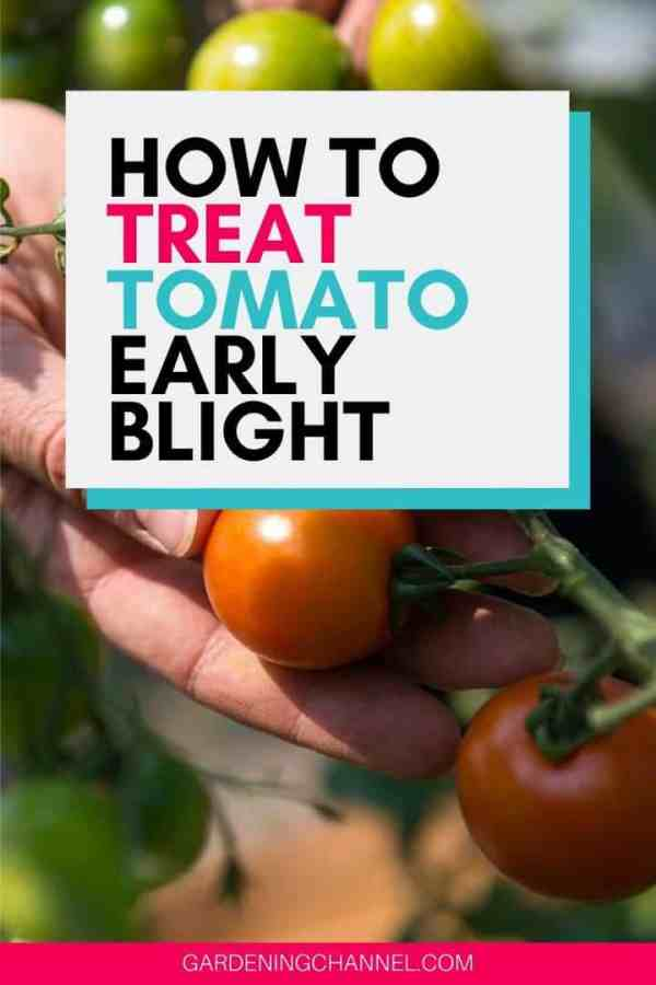 tomato crop with text overlay how to treat tomato early blight