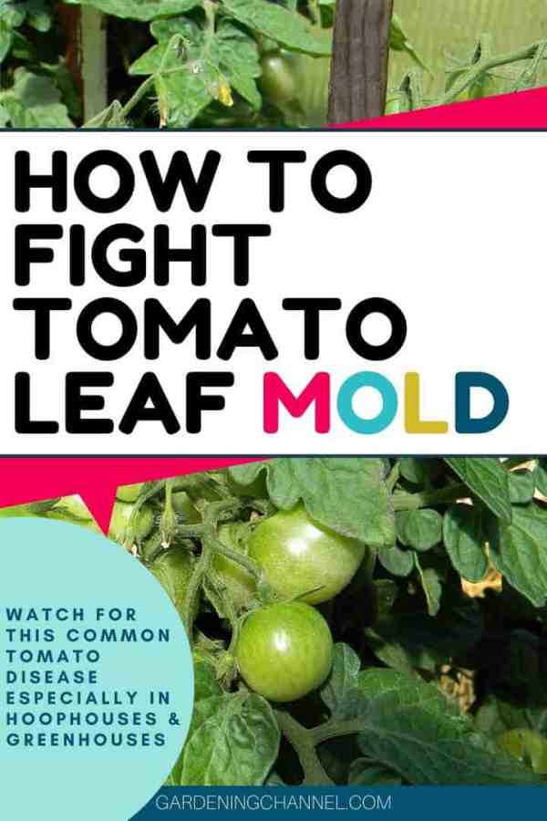 greenhouse tomato plant with text overlay how to fight tomato leaf mold watch for this common tomato disease especially in hoophouses and greenhouses