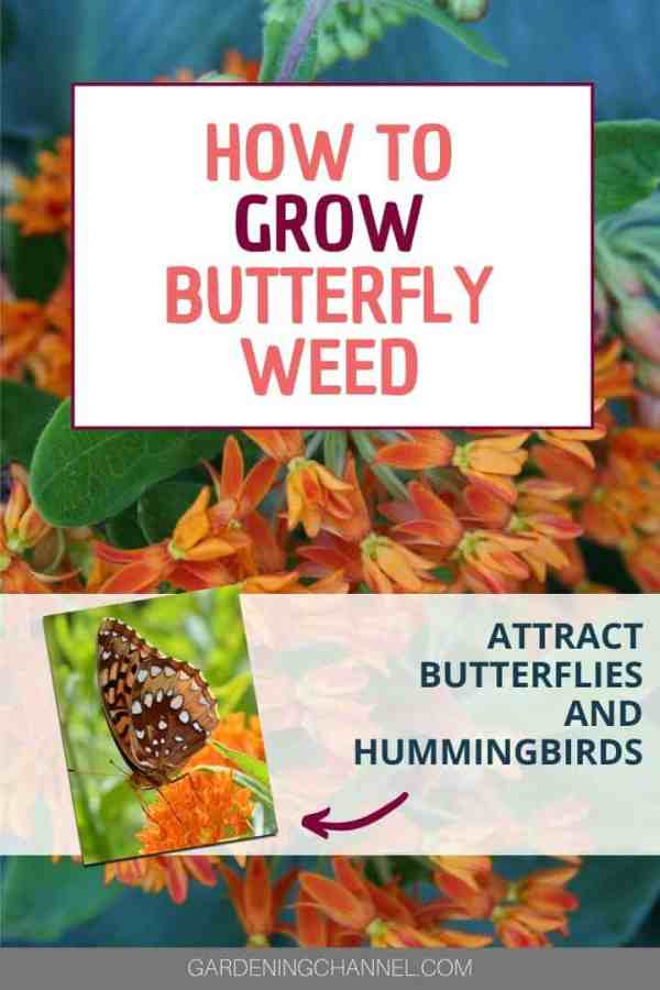 orange butterfly weed with text overlay how to grow butterfly weed attract butterflies and hummingbirds