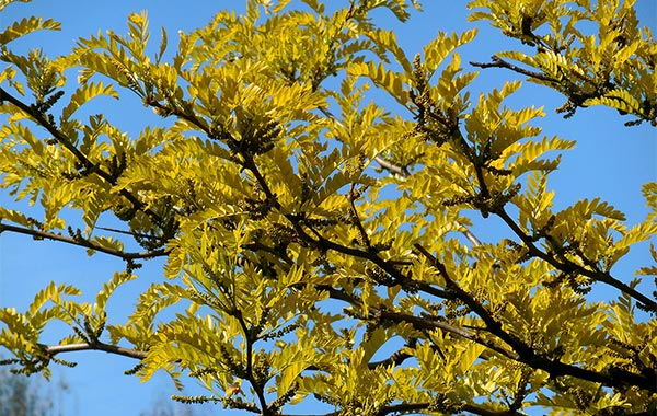 Honey locust branches and leaves