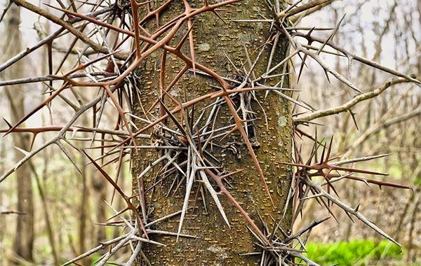 Honey locust thorny trunk