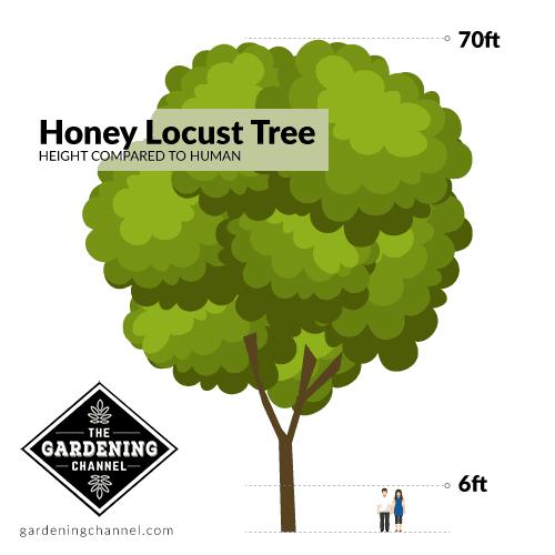Height of a honey locust tree