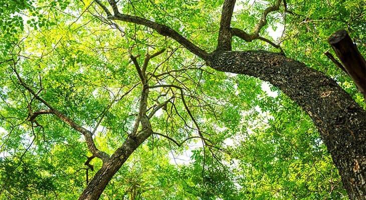 Locust trees varieties and growing