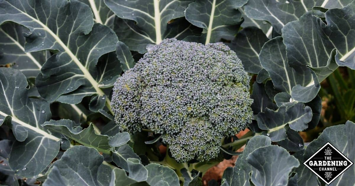 Can You Grow Broccoli In Pots Gardening Channel