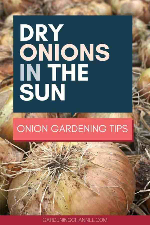 onions curing with text overlay dry onions in the sun onion gardening tips