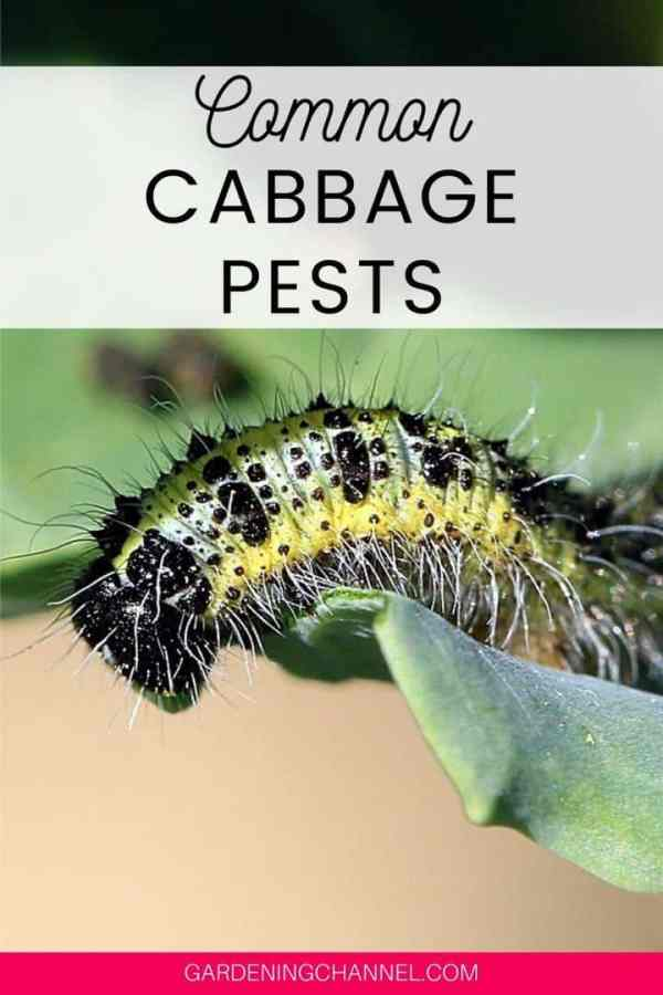 cabbage worm with text overlay common cabbage pests
