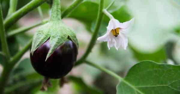 eggplant growing not flowering