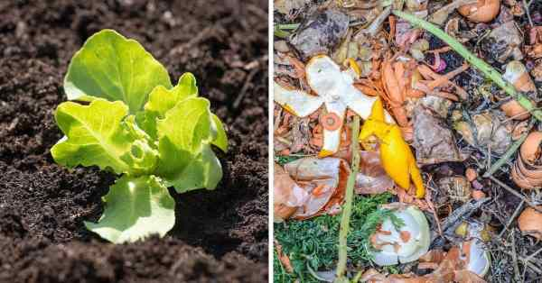 lettuce seedling compost fertilizer