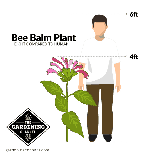 The height of a bee balm plant