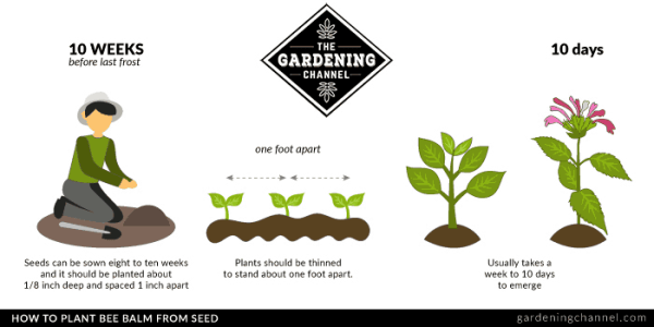 Plant bee balm from seed