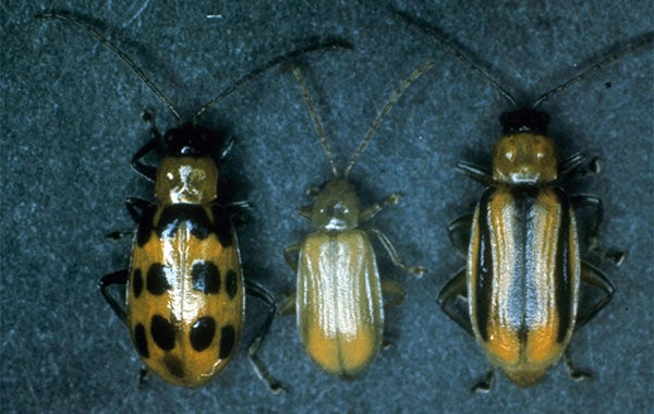 Spotted, gray/yellow, and striped cucumber beetles