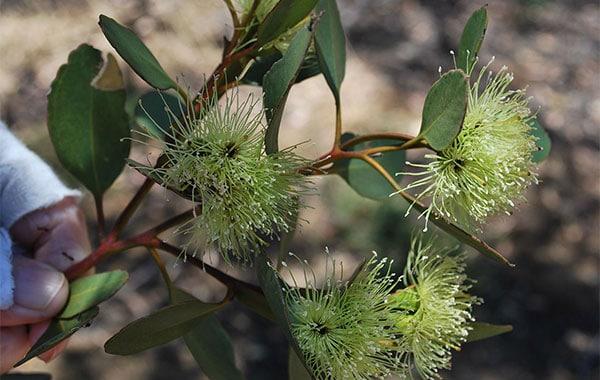 Eucalyptus Platypus Flowers
