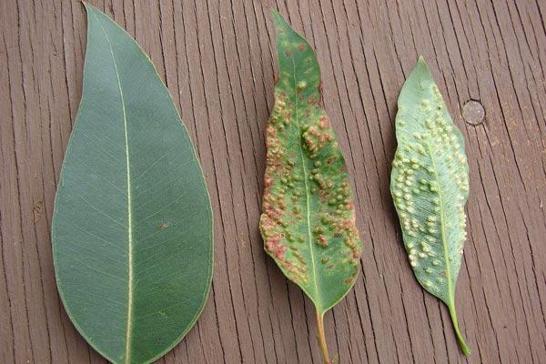 Eucalyptus leaves damage