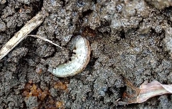 Stalk borer insect