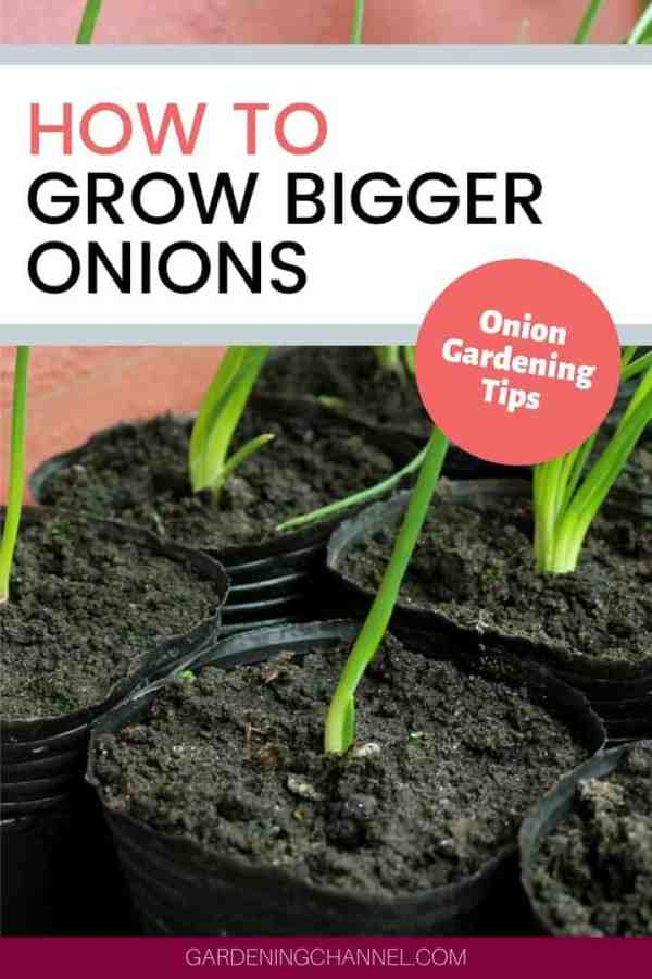 onion seedlings with text overlay how to grow bigger onions onion gardening tips
