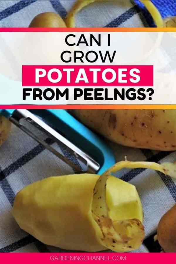 peeled potatoes with text overlay can i grow potatoes from peelings