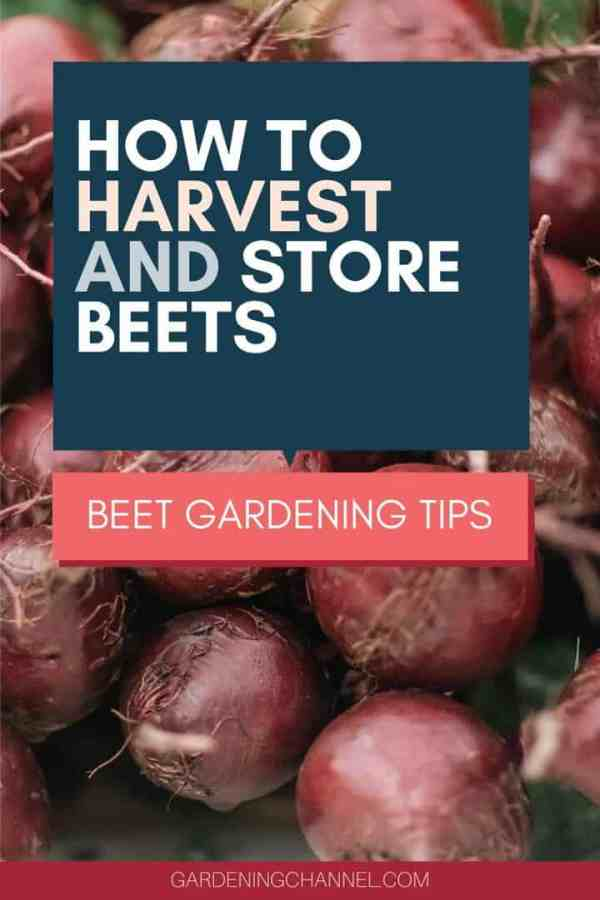 fresh beets with text overlay how to harvest and store beets beet gardening tips