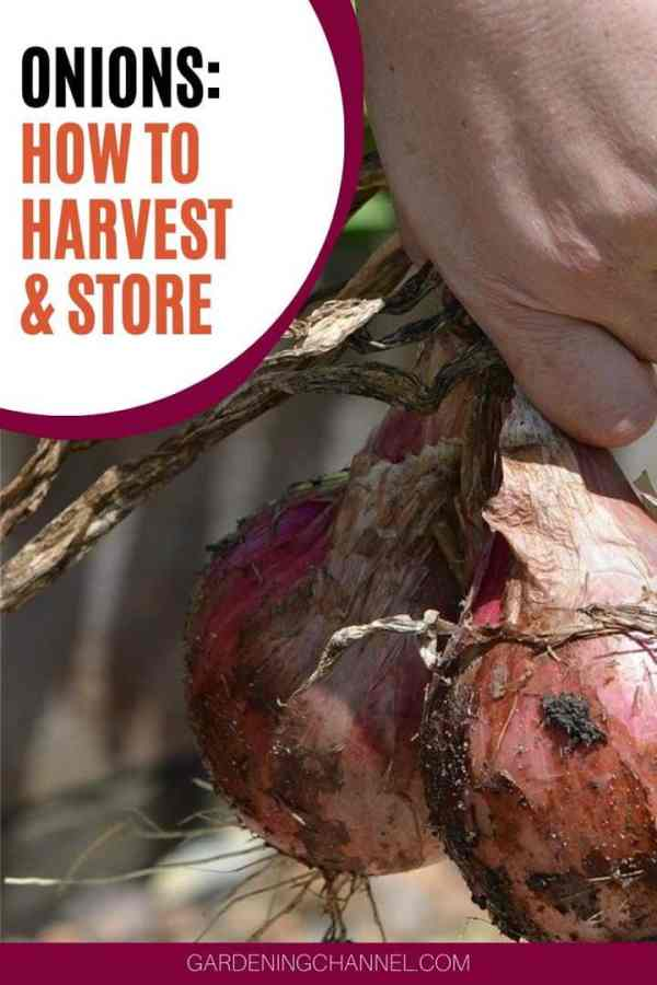harvested onions with text overlay onions how to harvest and store