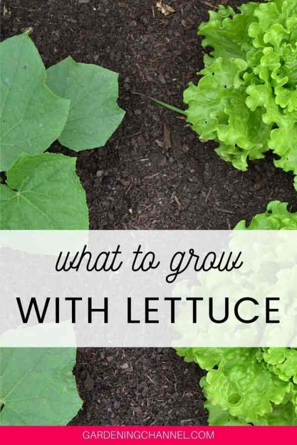 lettuce cucumbers with text overlay what to grow with lettuce