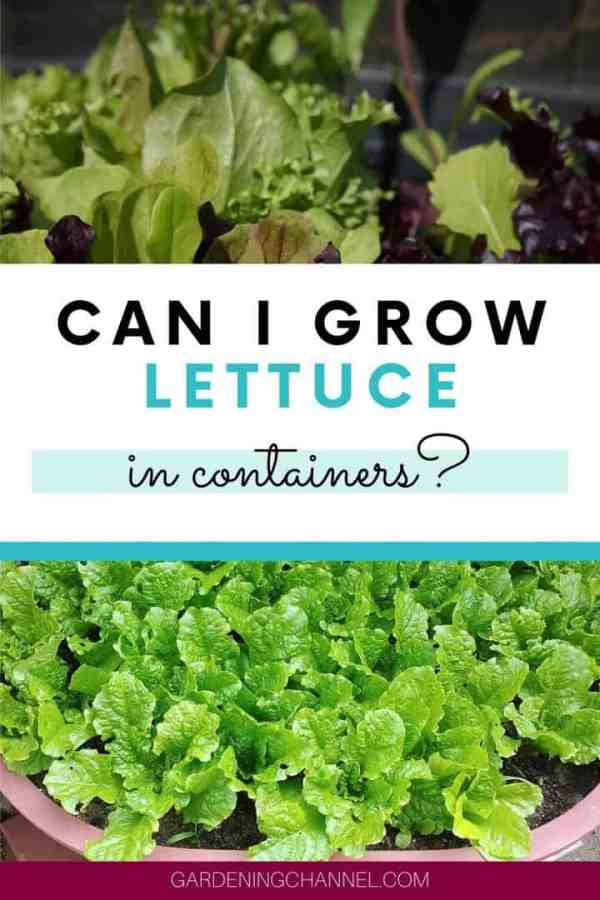 lettuce mix in containers with text overlay can i grow lettuce in containers