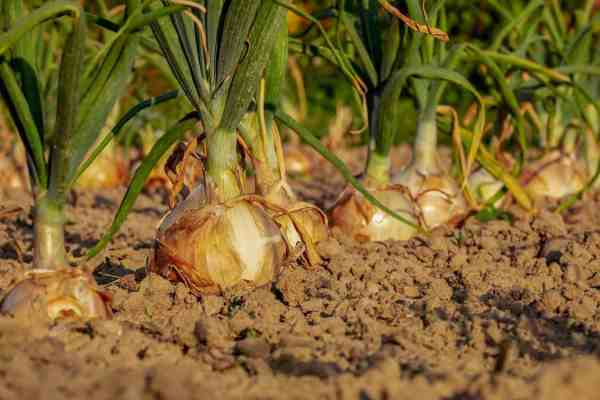 onion plants growing