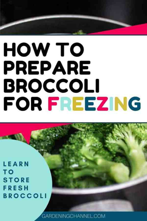 broccoli in pot blanch with text overlay how to prepare broccoli for freezing