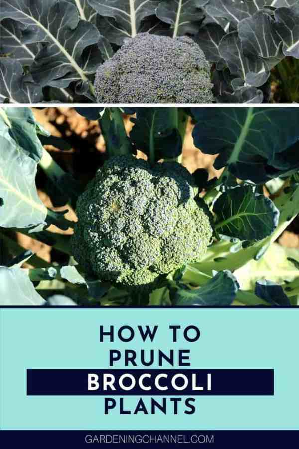 broccoli plants with text overlay how to prune broccoli plants