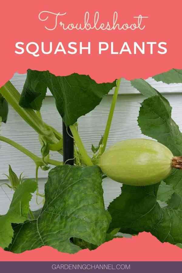 spaghetti squash plant with text overlay troubleshoot squash plants