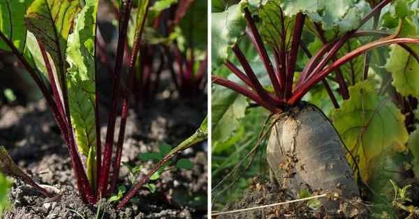 growing beets year round