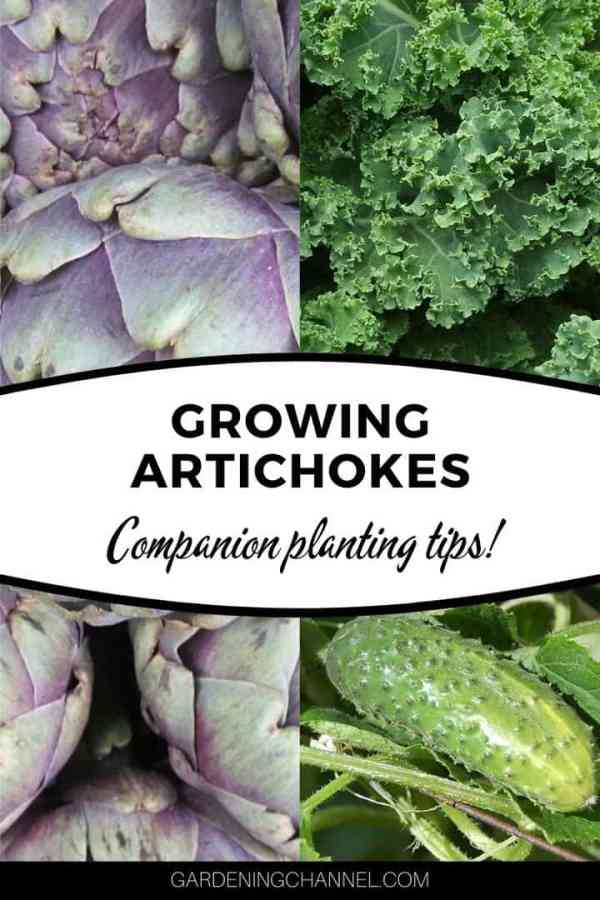 artichokes kale cucumbers with text overlay growing artichokes companion planting tips