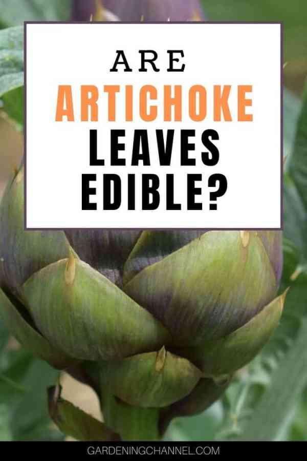 artichoke with text overlay are artichoke leaves edible