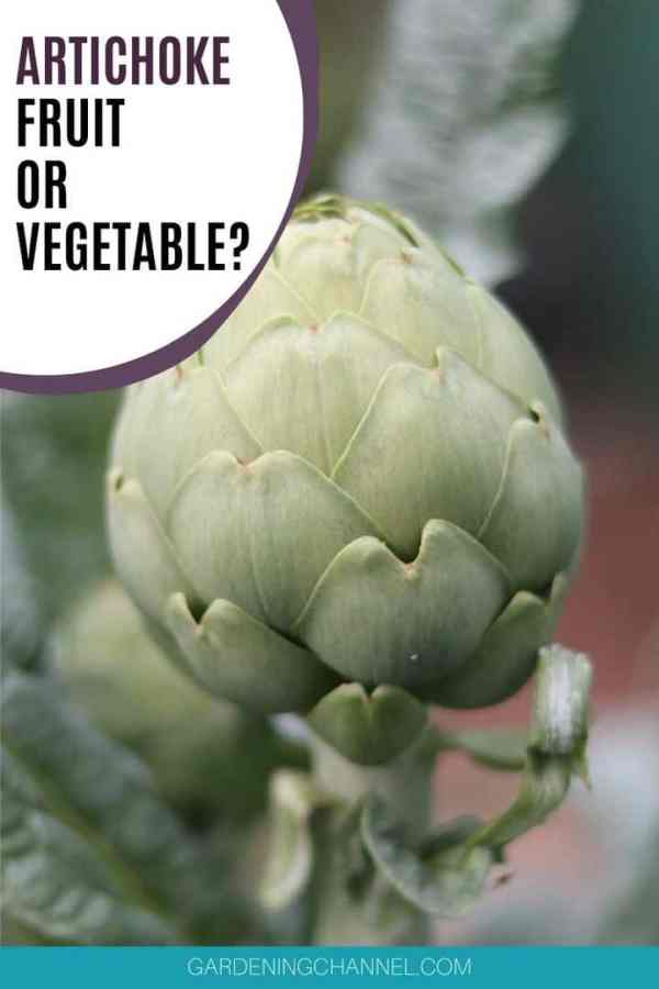 closeup artichoke with text overlay artichoke fruit or vegetable