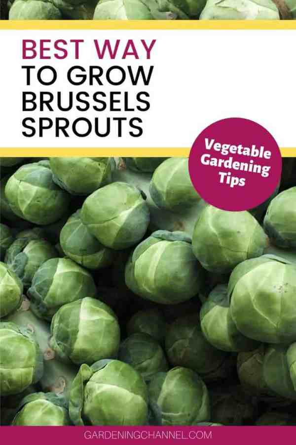 brussels sprouts harvested with text overlay best way to grow brussels sprouts vegetable gardening tips
