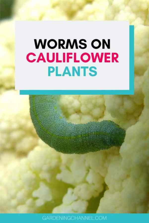 cabbage looper worm with text overlay worms on cauliflower plants