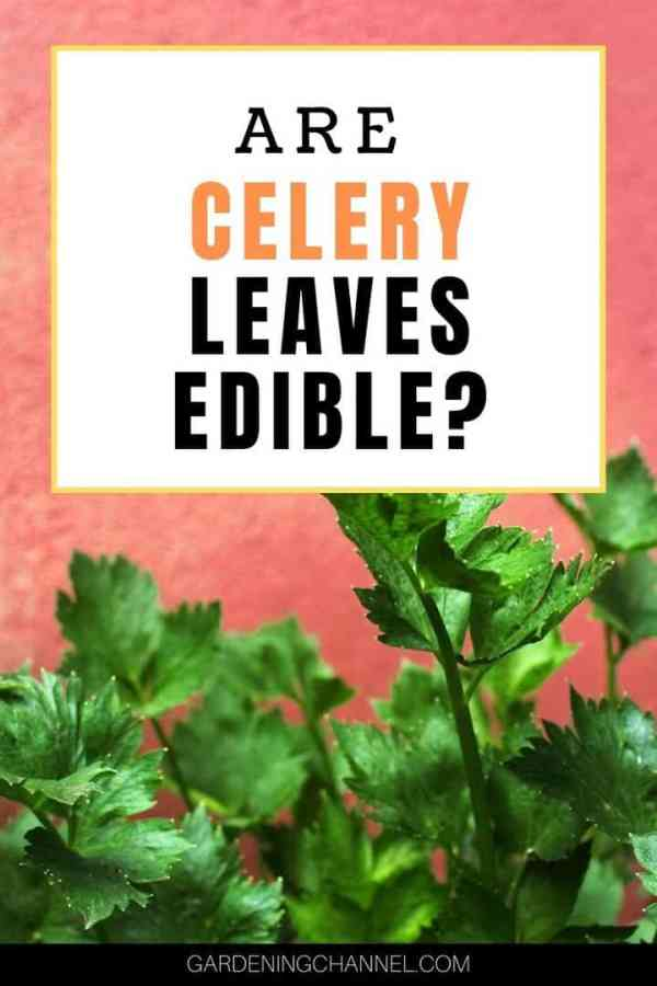 celery leaves with text overlay are celery leaves edible